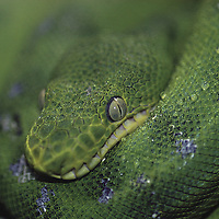 Emerald Tree Boa&amp;#xA;&amp;#xA;( snake green eye defense fresh water river Amazonian tropical rainforest jungle fish cat costa rica south america american tood poison venomous venenom indian death danger colorful<br />