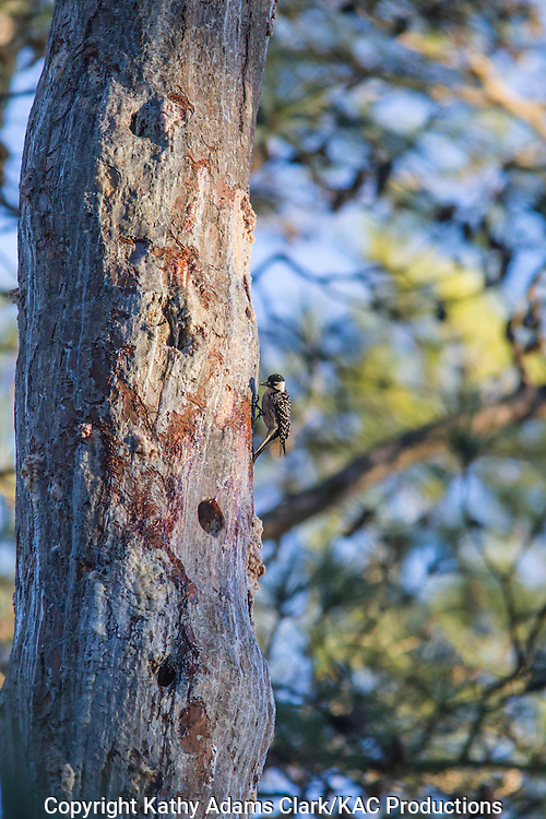 Red-cockaded woodpecker, Picoides borealis, Jones State Forest, Montgomery County, Texas, loblolly pine, Piney Woods.
