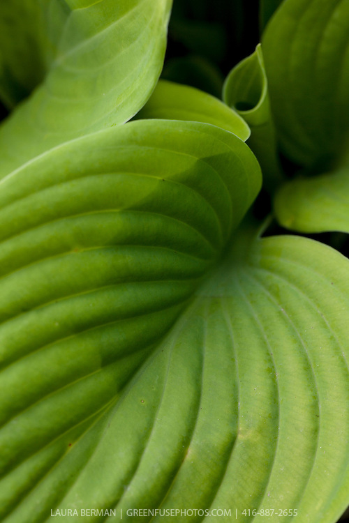 Sum & Substance Hosta has large, upright, heart-shaped leaves of a glossy chartreuse hue that changes to gold when exposed to more light. Near-white lilac blooms borne on leaning scapes 36 inches long appear from late July through mid-August.