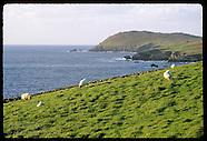 04: WEST COAST DINGLE SHEEP, FENCES