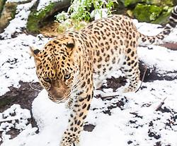 Leopard in the snow at Edinburgh Zoo..©Michael Schofield.