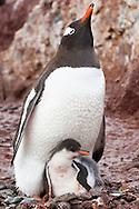 Gentoo penguin parent with chick, Pygoscelis papua, Antarctica
