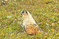While hiking to Lake Helen and Cirque Peak in Banff National Park we came across dozens of these interesting critters.  They are very large ground squirrels that are not even remotely shy. We were able to approach very closely before they even bothered to look up.  they are very fat, and very cute!<br />