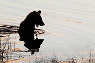 Silhouette of a brown bear in the water fishing for salmon, Katmai National Park, Alaska