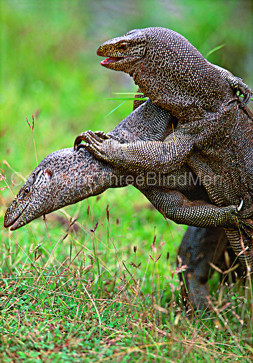 Monitor Lizards fighting, Yala National park.