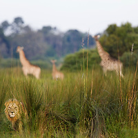 An African lion sits in the tall grass with giraffes in the background, Botswana, Africa