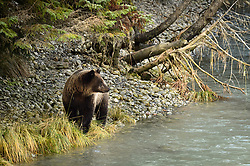 A grizzly bear, walks along the Chilkoot River at the Chilkoot Lake State Recreation Site near Haines, Alaska.<br /> <br /> The Chilkoot River outlet of Chilkoot Lake offers some of the best salmon fishing in Southeast Alaska. Four salmon runs are an open invitation for bears to feast on the spawning salmon. At times, the Chilkoot River Corridor has some of the highest bear activity in the state. The Chilkoot River corridor area is extremely narrow with room for an equally narrow road with few pullouts for tourists and fisherman causing traffic and congestion. This creates a serious conflict between humans and bears.<br /> <br /> Care must be taken by visitors to the area to protect themselves and the bears. Bear and human conflicts have been increasing in recent years to the point that a special human free zone was established to give bears access to the river. In addition a bear viewing platform is under development to provide a safer location for visitors to view bears feeding in the river. The area is part of the Chilkoot Lake State Recreational Site located near Haines, Alaska at the head of the Lutak Inlet in the Lynn Canal.<br /> <br /> The Chilkoot River ranks second in popularity for Southeast Alaska freshwater sports fishing. The area is also an important cultural area for the Tlingit people and site of a culture camp.<br /> <br /> EDITORS NOTE: Bear was photographed with a telephoto lens from a bridge to allow the bear free movement.