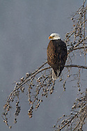 Bald eagles frequently reside in close proximity to water where they use their large talons to catch fish, their favorite prey. During winter when fish are scarce, eagles consume large amounts of waterfowl, carrion and other available prey.