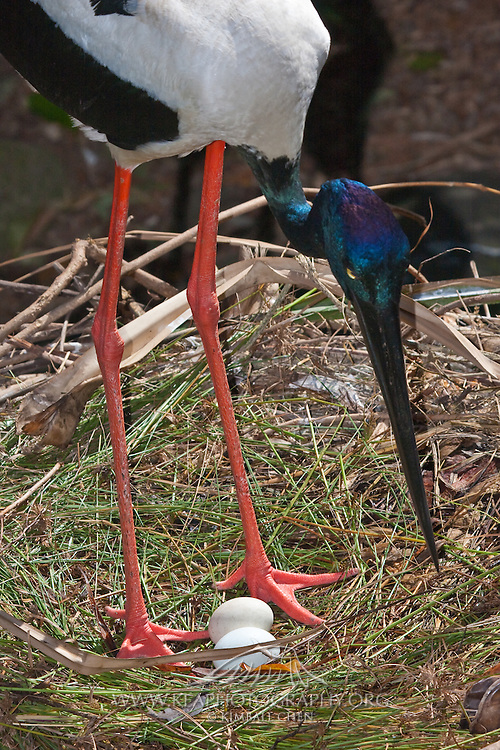 Long pink legs of the Black-necked stork stand guard at the nest of eggs.  The Black-necked stork is the only stork in Australia.