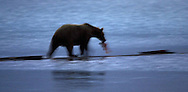 Brown bear walking in river with salmon in its mouth at dawn.
