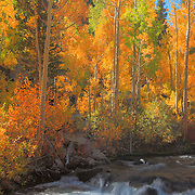 Bishop Creek Aspens -  Fall Color