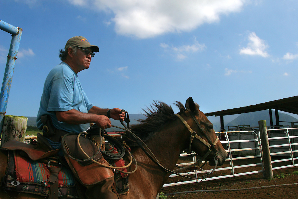 Cowboy Ryan Okimoto keeps things in order as cattle are rounded up and calves separated for branding at the Kuahiwi Ranch in the higher country above the town of Naalehu on the southern part of the Big Island, Hawaii.
