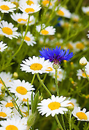 A lone cornflower surrounded by oxeye daisies, photographed in August.