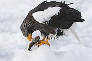 Steller's Sea Eagle (Haliaeetus pelagicus), Rausa, Japan