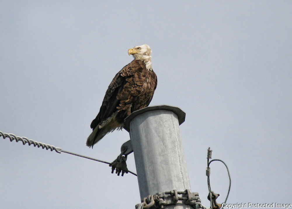 Bald Eagle sitting on a power pole on the causeway to Jekyll Island.
