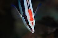 Coris picta (Combfish)