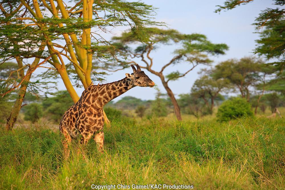 Masai giraffe walking near yellow thorn acacia trees.
