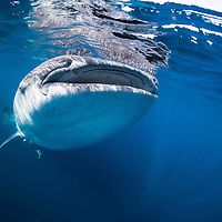 With giants: Whale sharks and manta rays in Mexico