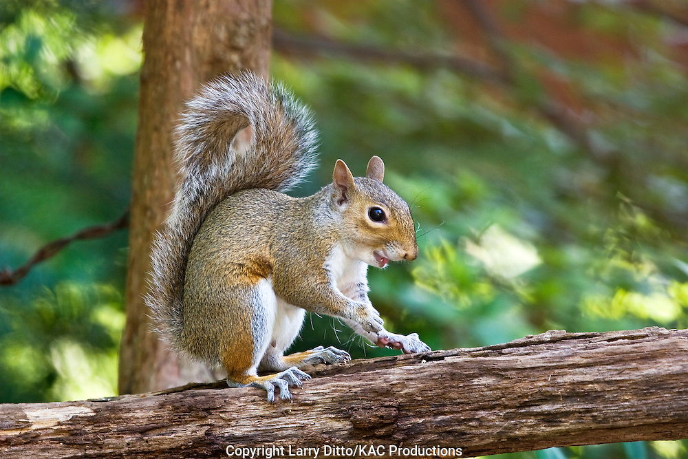 Eastern Gray Squirrel (Sciurus carolinensis), summer, North Carolina