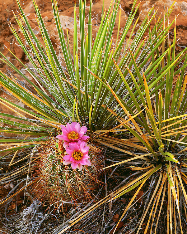 0351-1006 ~ Copyright: George H. H. Huey ~ Devil claw cactus [Sclerocactus parviflorus] with navajo yucca. Cedar Mesa. BLM. Southern Utah.