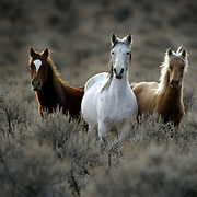 Wild horses roam through brush on Thursday, December 9, 2004 on the Yakama (cq) Indian Reservation.  The tribe has up to 5,000 wild horses.  Joshua Trujillo / Seattle Post-Intelligencer