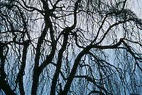 Silhouette of tree on shore of Lake Como Bellagio Italy
