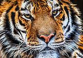 Four Paws Tiger Rescue