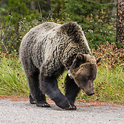 A grizzly bear (Ursus arctos horribilis, a subspecies of brown bear) with radio collar and tag explores the Visitor Centre parking lot of Peter Lougheed Provincial Park in Kananaskis Country, Alberta, Canada. The species Ursus arctos is found across northern Eurasia (including Russia and Scandinavia) and North America and is an omnivorous mammal of the order Carnivora. Kananaskis Country is a spectacular park system in the Canadian Rockies west of Calgary.