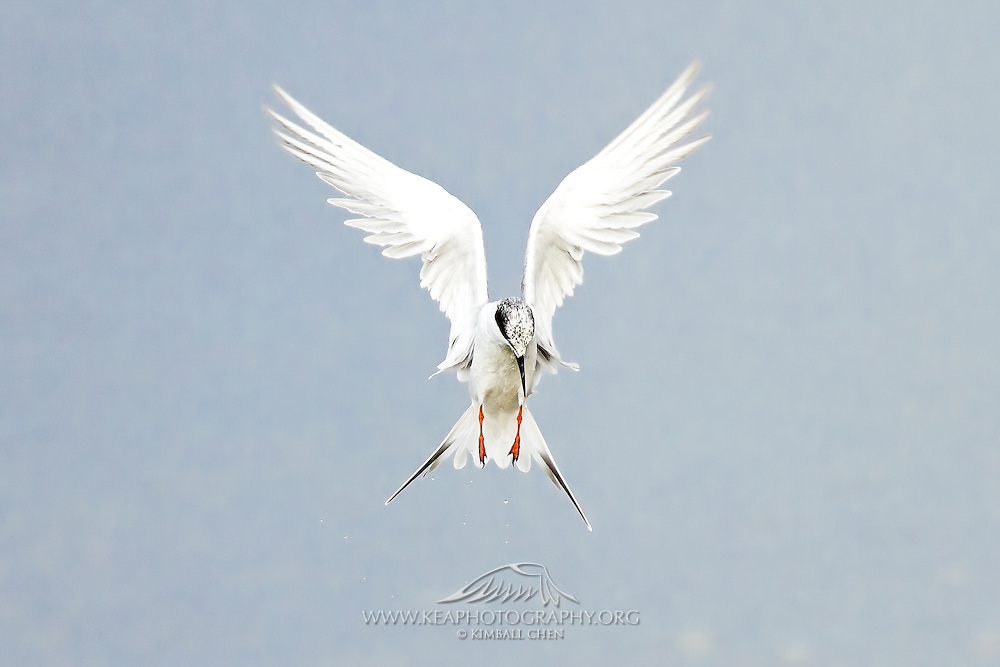 And God said, &quot;Let the water teem with living creatures, and let birds fly above the earth across the expanse of the sky.&quot;  - Genesis 1:20<br /> <br /> (photo of an angelic Forster's Tern, hovering in the air while plunge diving for fish, Southern California, North America)