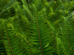 Western Sword Ferns  (Polystichum munitum) grow abundantly in a lush temperate forest, Kitsap Peninsula, Puget Sound, WA, USA