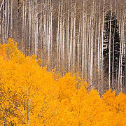 Colorado Trees / Forests