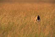 Image of a male lion (panthera leo) yawning at the Masai Mara National Reserve in Kenya, Africa