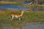 Red Lechwe or Southern Lechwe (Kobus leche)<br /> Moremi Game Reserve, Okavango Delta<br /> BOTSWANA<br /> HABITAT &amp; RANGE: Marshes or flooded areas of Botswana, Zambia, Congo, Namibia, Angola.