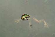 Rana en la Reserva Nacional de Paracas, Per&uacute;. <br /> <br /> La Reserva Nacional de Paracas es una zona protegida del Per&uacute; ubicada en la Provincia de Pisco, dentro del departamento de Ica. La Reserva Nacional de Paracas fue declarada como tal el 25 de septiembre del a&ntilde;o 1975. Fue creada con el fin de conservar una porci&oacute;n del mar y del desierto del Per&uacute;, dando protecci&oacute;n a las diversas especies de flora y fauna silvestres que all&iacute; viven y para darle refugio a las especies migratorias durante sus largas traves&iacute;as anuales.<br /> <br /> &copy; Alejandro Balaguer/ Fundaci&oacute;n Albatros Media