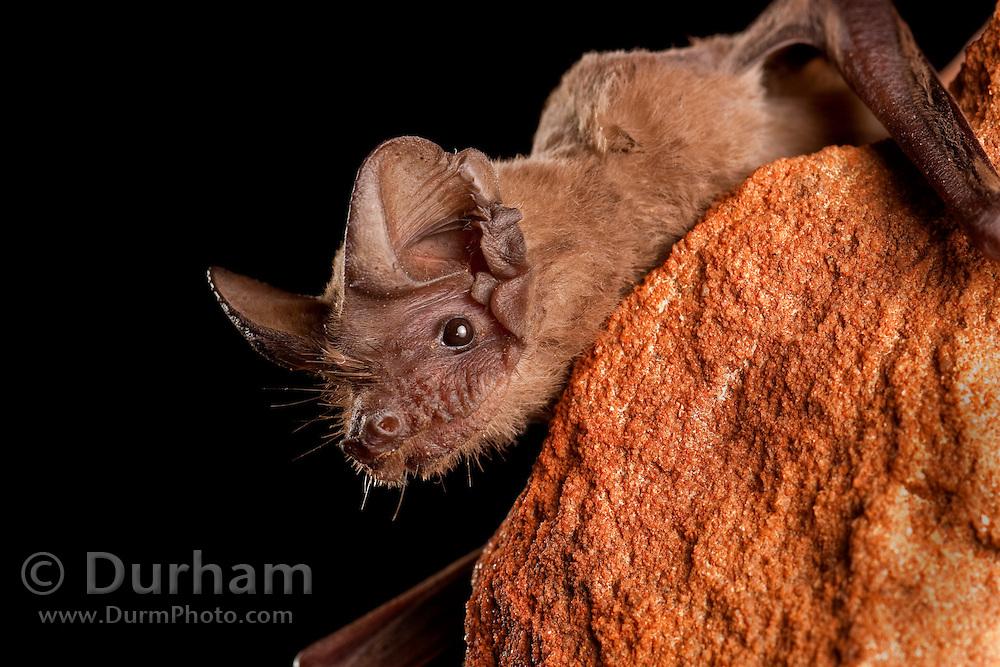 A mexican free-tailed bat (Tadarida brasiliensis) perching at ngiht. Central Texas.