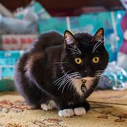 Domestic cat, Socks Clark, tuxedo cat, shorthair
