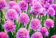 Chives - Allium schoenoprasum - in flower, providing a splash of colour in a kitchen garden at the start of the summer.