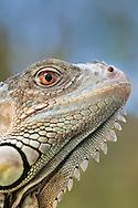 Green iguana, Iguana iguana, Australian Reptile Park, Somersby, New South Wales, Australia