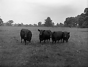 13/08/1959<br /> 08/13/1959<br /> 13 August 1959<br /> Pedigree Bulls and Heifers for Coras Trachtala. Winning pairs of the R.D.S. Show 1958/1959, &quot;Etheene of Clonacody&quot;; BewitchingMaid of Lisronagh&quot;; &quot;Benefactress of Clonacody&quot; and &quot;Excelsee of Clonacody&quot; owned by Mr. Conor Corrigan, Clonacody, Clonmel, Co. Tipperary.
