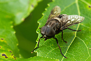 Horse Fly (Tabanus mixus) - male<br /> United States: Alabama: Tuscaloosa Co.<br /> Tulip Tree Springs off Echola Rd.; Elrod<br /> 1-Jun-2016<br /> J.C. Abbott #2824 &amp; K.K. Abbott