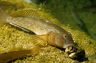 Round Goby eating Zebra Mussel<br /> <br /> ENGBRETSON UNDERWATER PHOTO