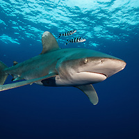 Oceanic whitetip shark (Carcharhinus longimanus) at Columbus Point, Cat Island, Bahamas