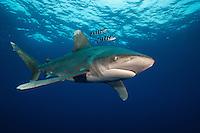 Oceanic whitetip shark (Carcharhinus longimanus) at Columbus Point, Cat Island, Bahamas