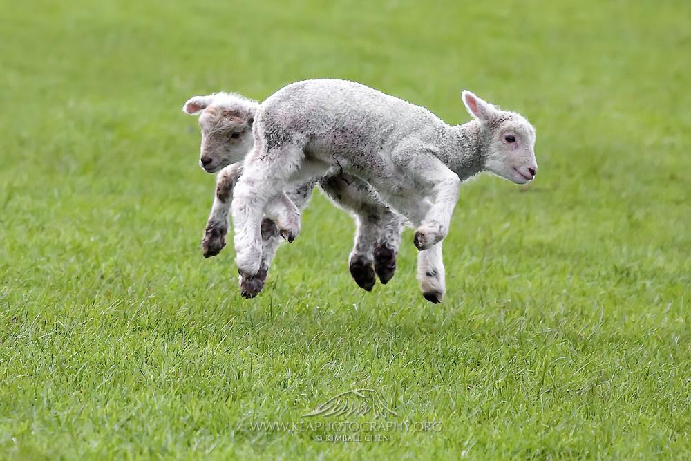 Jumping Lambs, Southland, New Zealand