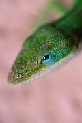 Carolina anole lizard (also known as American Chameleon); Anolis carolinensis; Hawaii (introduced species).