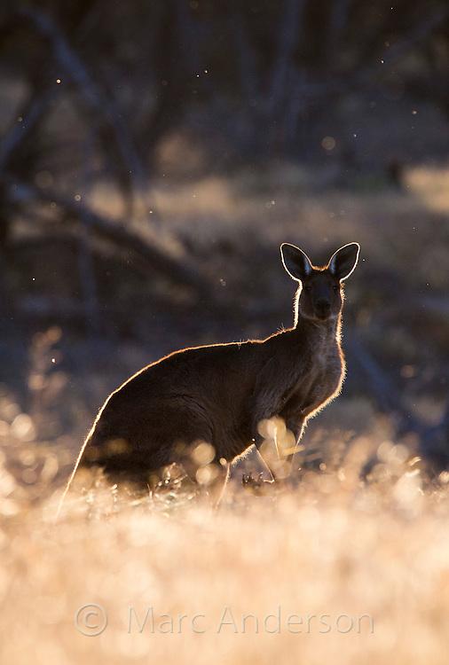 Western Grey Kangaroo (Macropus fuliginosus), Wyperfeld National Park, Australia