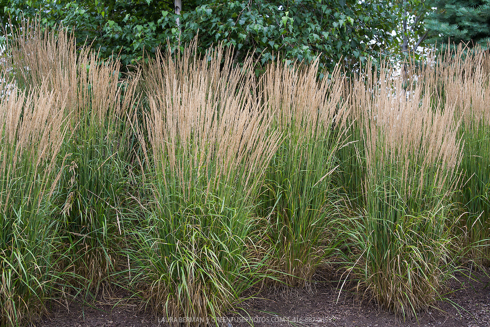39 karl foerster 39 feather reed grass greenfuse photos for Long ornamental grass