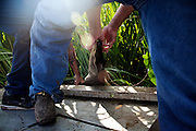 Julius Gaudet, 62, and Rebel work to haul a recently caught gator into the boat while alligator hunting near Shell Island, Louisiana on Saturday, September 19, 2009.