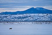 Coyote walking across snow-covered field; Lower Klamath National Wildlife Refuge, California.