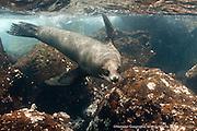 Galapagos Sea Lion - Zalophus wollebacki